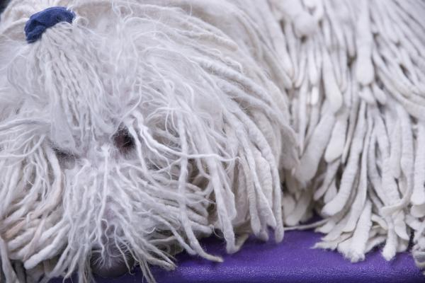 Chauncey, a komondor, chills in the benching area before the show.