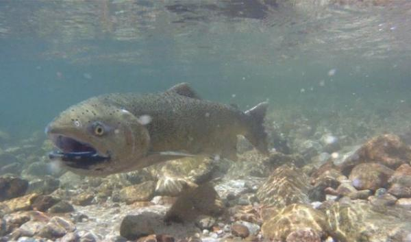A chinook salmon photographed in the Snake River in 2013. That year's run set records, but 2014 returns are on track to outnumber last year's in the Columbia and Snake rivers.