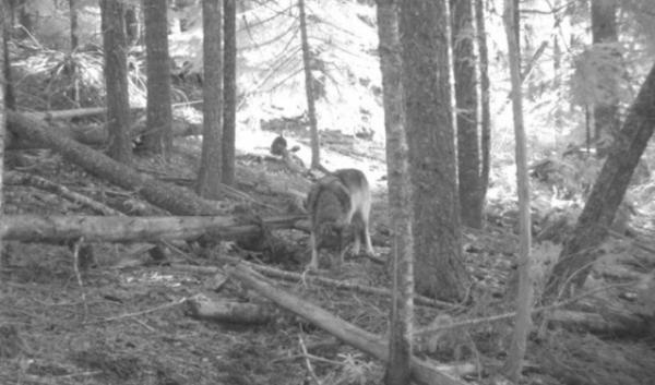 The wolf known as OR-7 was the first wolf to be documented in the Cascades. In December, a second single wolf was documented near Mount Hood.