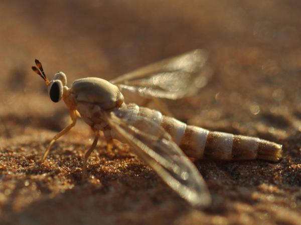A midas fly touches down on the sands of the desert in the United Arab Emirates. A lake in the area has brought new forms of wildlife, but some scientists are concerned it could harm the habitat of the midas fly.