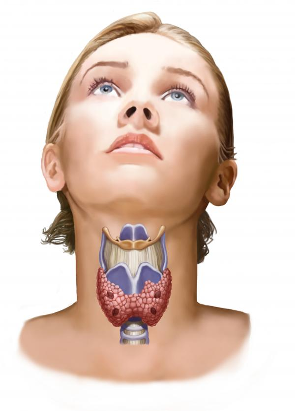 The thyroid gland, shown in pink, plays a big role in regulating the body's metabolism.