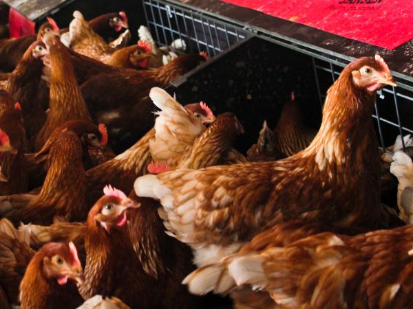 These free-range chickens are getting conventional feed. They lay eggs for Sauder's Quality Eggs in Pennsylvania.