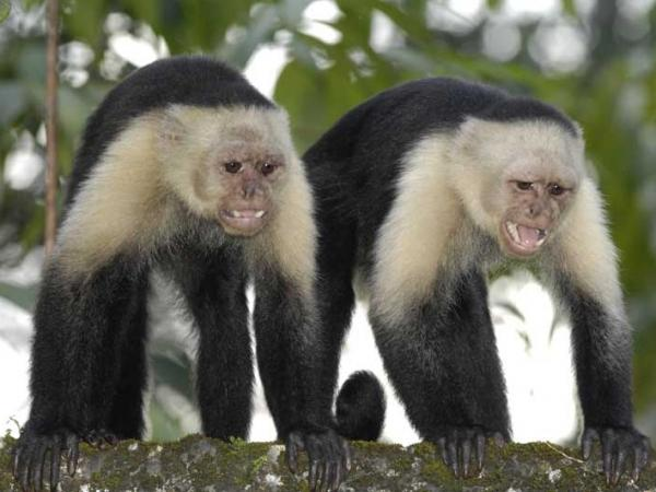 Two white-headed capuchin monkeys (also known as the white-faced capuchin or white-throated capuchin) on Gorgona island, off Colombia's Pacific coast.