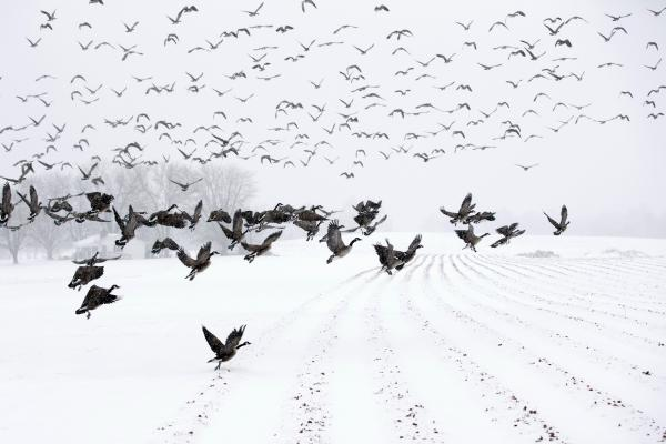 "Canada Geese take flight from a farm field during a snow storm in Davidsonville, Md., on Monday. ""Snow totals so far are generally in the 3-6 inch range,"" the <em>Washington Post's</em> Capital Weather Gang blog says, and it's likely only an inch or so more will fall in coming hours."