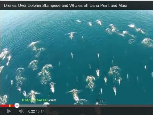 Video screen-grab of drone footage of a dolphin stampede off California coast.