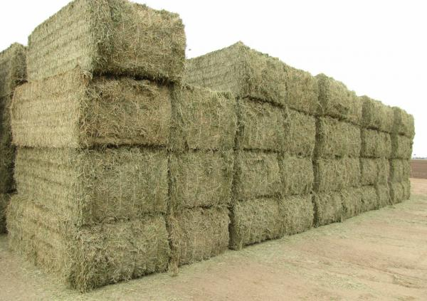 Some of Yuma County's alfalfa will go to feedlots and dairies in the region. Others will be shipped overseas to China, where the demand for hay has grown. (Laurel Morales)