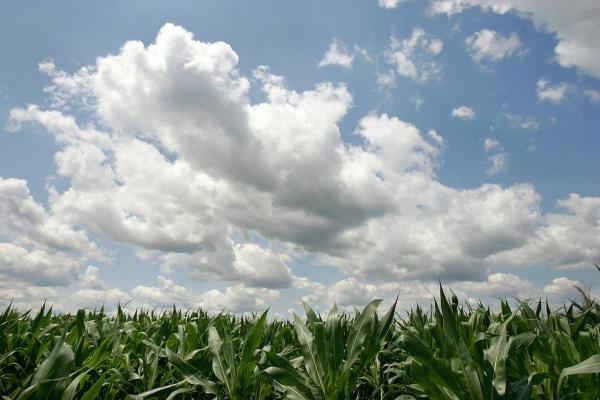 Shoulder-high stalks are seen in a corn field July 5, 2006 in Prairie View, Illinois. (Tim Boyle/Getty Images)