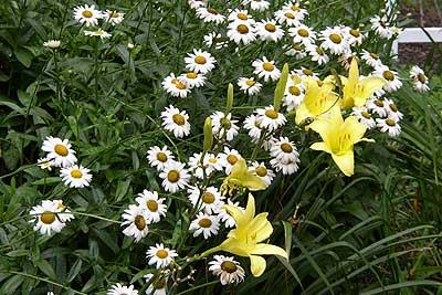Daylilies and daisies in Eudora Welty's garden. (Eudora Welty House)