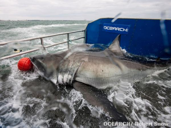 """Lydia"" shortly before a tracking device was attached to her last year near Jacksonville, Fla."