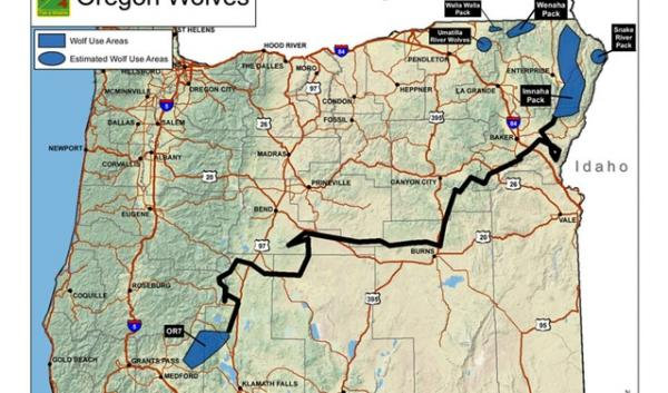 A map of Oregon grey wolf OR-7's movements in 2011.
