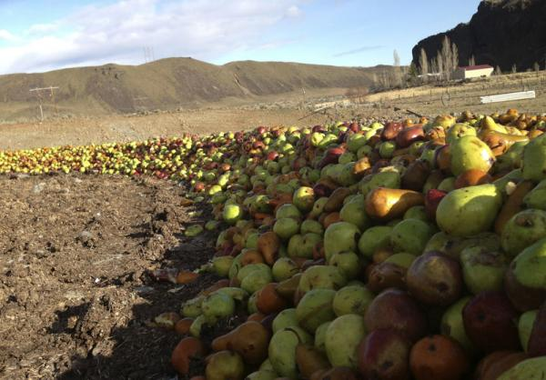 Along the Columbia River in Washington state there are thousands of acres of valuable cherry, apple and pear orchards. These pears are damaged, and destined for cattle feed.