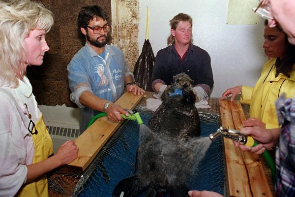 A rescued sea otter is restrained and washed by workers at an animal facility. Many local fishermen were hired to help with cleanup.