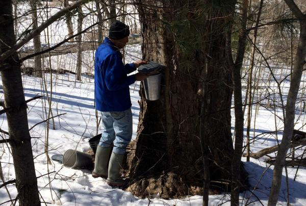 Kathy's husband John taps a maple tree. (Kathy Gunst/Here & Now)