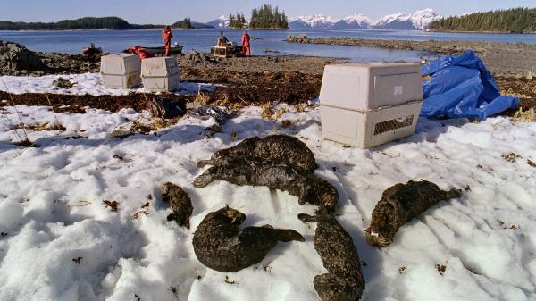 Oil-soaked sea otters lie dead at Green Island beach on Alaska's Prince William Sound one week after the Exxon Valdez oil disaster in 1989.