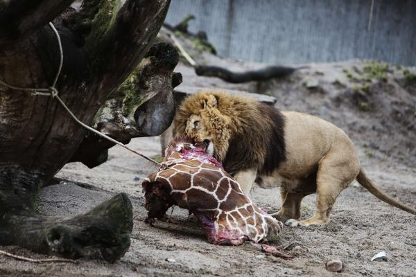 The lions at the Copenhagen Zoo eat the remains of a healthy young giraffe named Marius in February. It's unclear whether the lion pictured was one of those euthanized.