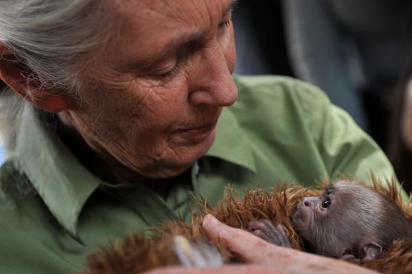 Jane Goodall holds a baby <em>Cebus capucinus</em> monkey during a 2013 visit to a primate rescue center in Chile.