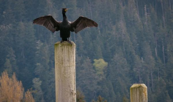 The double-crested cormorant. It's one of three types of bird that will be shot if non-lethal hazing fails to stop them from eating juvenile salmon and steelhead at five dams on the Columbia and lower Snake rivers.
