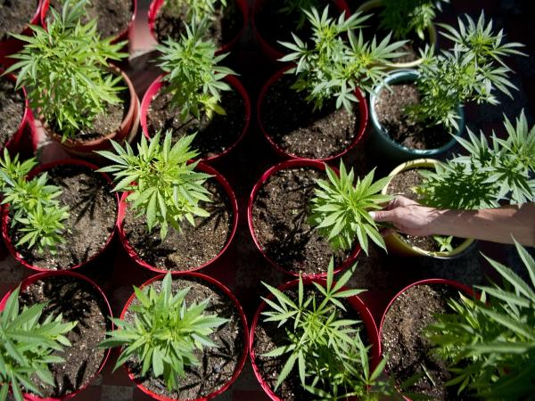 Marijuana plants grow at a farm near Medellin. Tony Dokoupil's father made hundreds of thousands of dollars smuggling marijuana into the U.S. from Colombia.