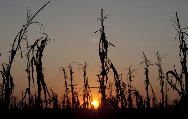Severely damaged corn stalks due to a widespread drought are seen at sunset on a farm near Oakland City, Indiana, August 15, 2012. A new report from the IPCC details the current and future effects of climate change, including droughts and crop shortages. (Saul Loeb/AFP/Getty Images)