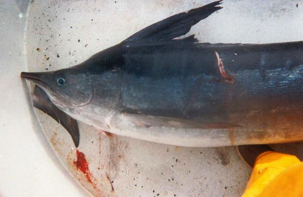 "A marlin caught as bycatch by the California drift gillnet fishery. The conservation group Oceana called the fishery one of the ""dirtiest"" in the U.S. because of its high rate of discarded fish and other marine animals."