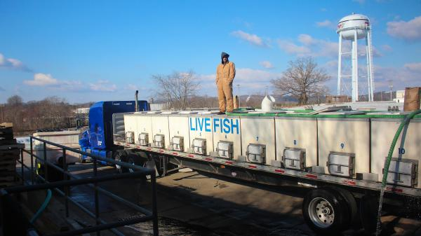 Live tilapia are loaded into a truck bound for New York.