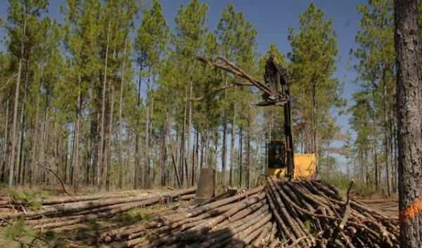 The cellulose from trees, like these being harvested for pulp and paper, can now be processed into high-tech energy storage devices.