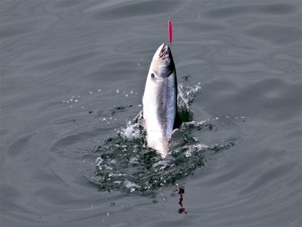 File photo. Fisheries managers are expecting a banner year for ocean salmon fishing.