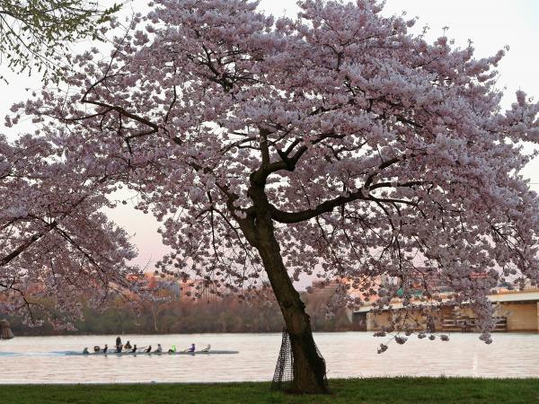 A cherry blossom tree on the Potomac. Not bad, eh?