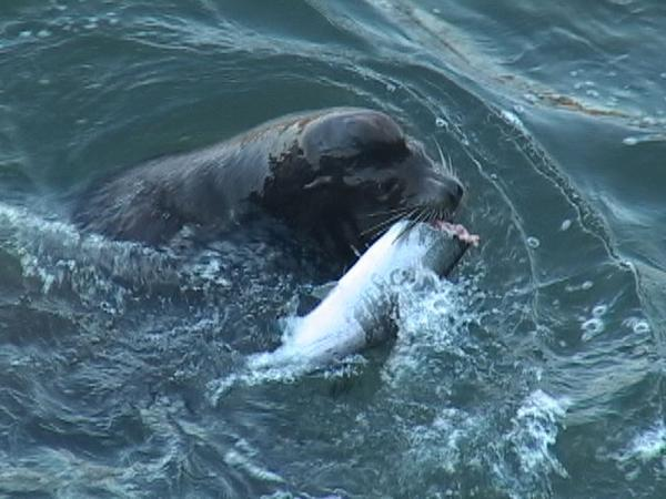 File photo of a California sea lion consuming a salmon just below the Columbia River's Bonneville Dam.