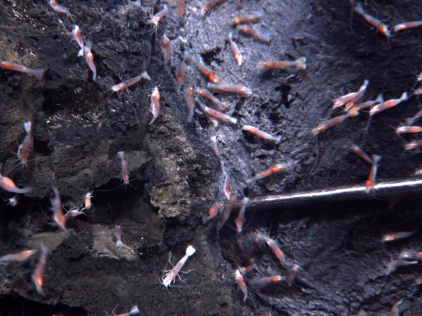 Shrimp surround a volcanic vent nearly 4,000 feet beneath the Pacific Ocean, south of Samoa. Some mining companies are interested in the rich sulfide deposits surrounding vents such as these.