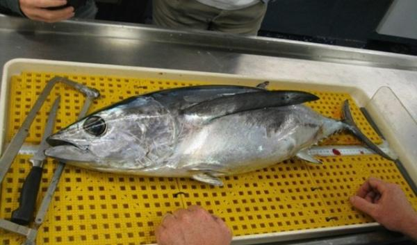 Researchers check albacore tuna caught off Oregon Coast radiation from Fukushima, Japan.