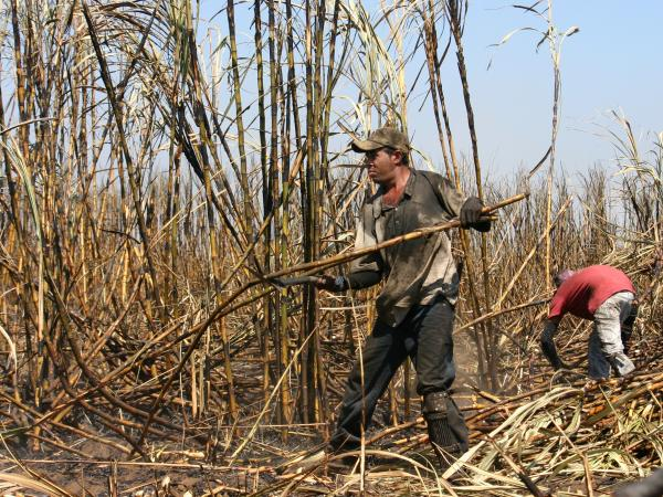 A farmworker harvests sugar cane in a field near Chichigalpa, Nicaragua.