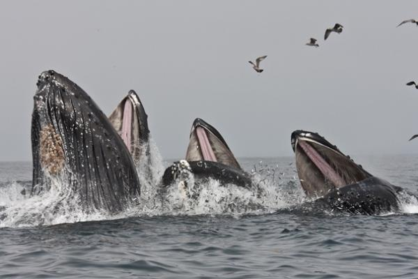 Three humpback whales surge upward, gulping the silvery anchovies that have been in abundance in Monterey Bay this spring.
