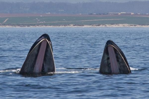 Two humpback whale's rise out of the water as they lunge through a krill swarm on April 30.