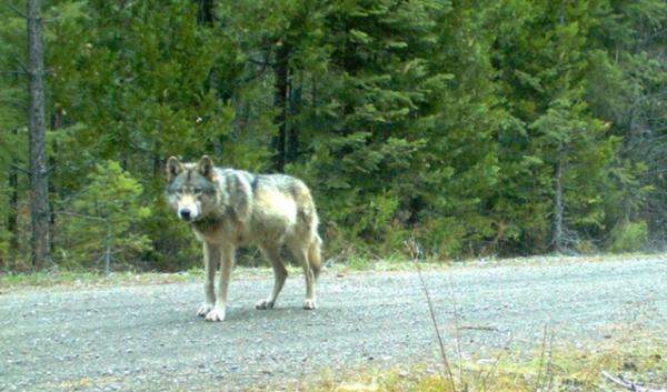 Remote camera photo of OR7 captured May 3 on U.S. Forest Service Land in southern Oregon's Jackson County.
