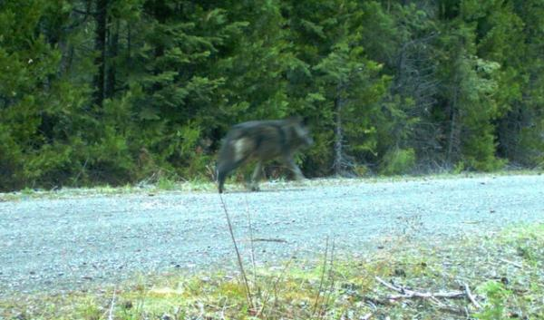 This remote camera photo shows a  wolf using the same area as OR7. This is the first evidence that OR7 has found another wolf -- possibly a mate -- in the Oregon Cascades.