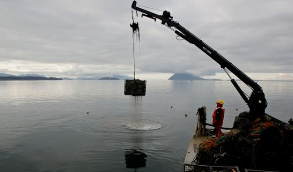 A file photo of a Taylor Shellfish operation on Puget Sound. Ocean acidification threatens shellfish and other aquatic life. A Washington congressman wants prize money to give researchers more incentive to solve the ocean acidification puzzle.