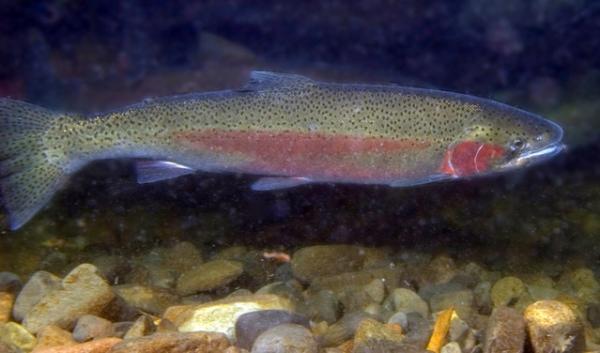 A juvenile steehead trout.