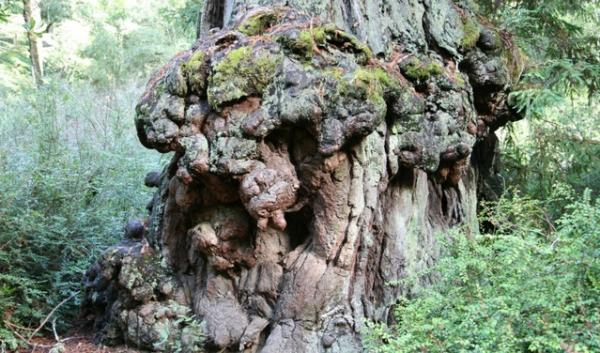 File photo of a redwood burl. Burl thieves have been striking in Northern California's forests recently.