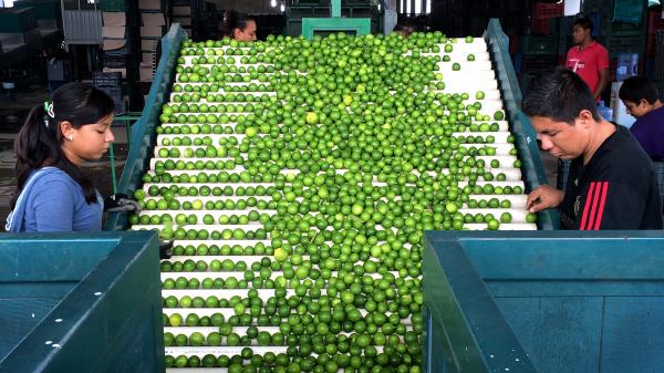 Workers sort through key limes at a packaging house in Apatzingan, Michoacan. More than 90 percent of limes imported into the U.S. come from Mexico.