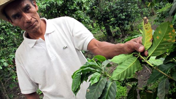 Worker Rigoberto Umul turns up leaves on a coffee bush at a farm near San Pedro Yepocapa, Guatemala, to show the leaf rust that is decimating Central American coffee crops, on May 20, 2013.