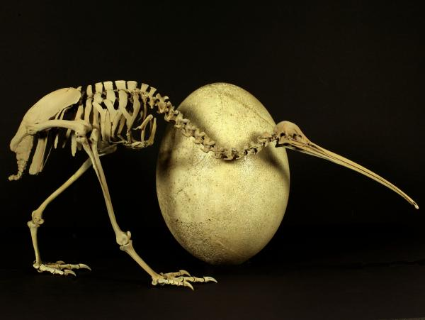 The egg definitely came before the chicken in this case — the skeleton is from a modern adult kiwi, the egg from its much bigger, long-extinct cousin, <em>Aepyornis maximus. </em>