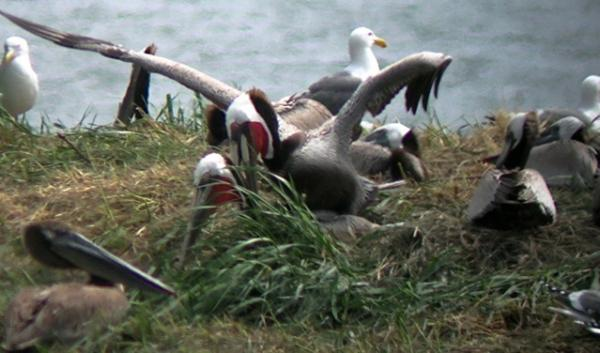 California brown pelicans with red bill pouches, indicating they are in breeding condition, have been seen building nests on an island in the Columbia River. It's much farther north than their breeding grounds in Southern California and Mexico.