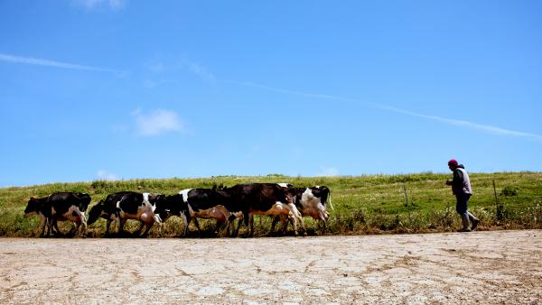Jose Gonzalez monitors the cows at Bivalve Dairy as they walk to be milked at the farm near Point Reyes Station, Calif.