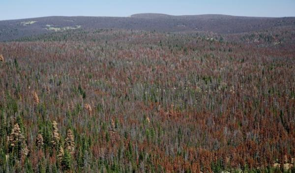 A 330,000-acre area of Oregon's Fremont-Winema National Forest has been infested by bark beetles. It's one of the areas now designated for restoration logging under new rules.