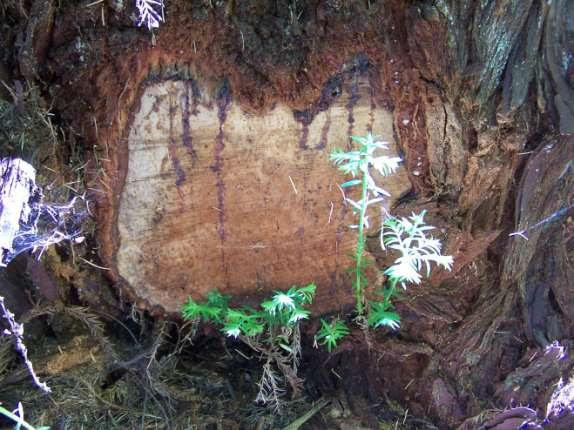 A redwood with poached burl in the Rogue-Siskiyou National Forest.
