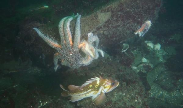 Sunflower star in Hood Canal losing its arms, a symptom of sea star wasting syndrome.