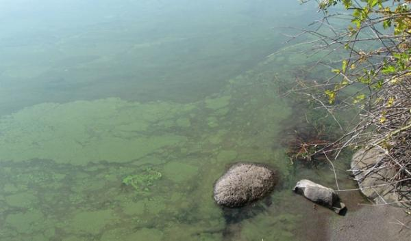 Toxic algae blooms contributed to closing some of  some of Oregon's lakes, ponds and reservoirs for a combined total of more than 700 days in 2013 alone.