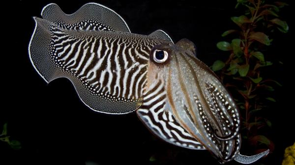A cuttlefish gazes at a camera in the Smithsonian's National Zoo Invertebrate Exhibit. The exhibit, home to dozens of small aquatic and terrestrial species without backbones, closed Sunday.