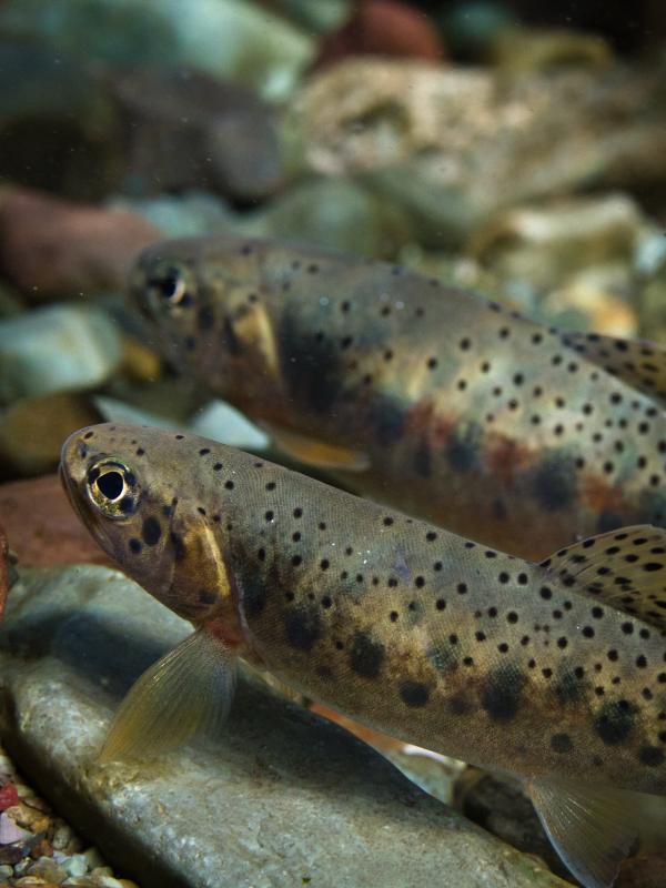 Westslope cutthroat trout in Montana prefer cold streams for spawning.